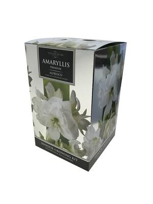 Amaryllis Premium Gift - Alfresco