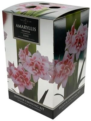 Amaryllis Premium Gift - Elvas