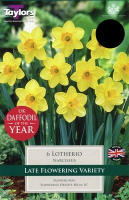 Narcissi Lotherio x6