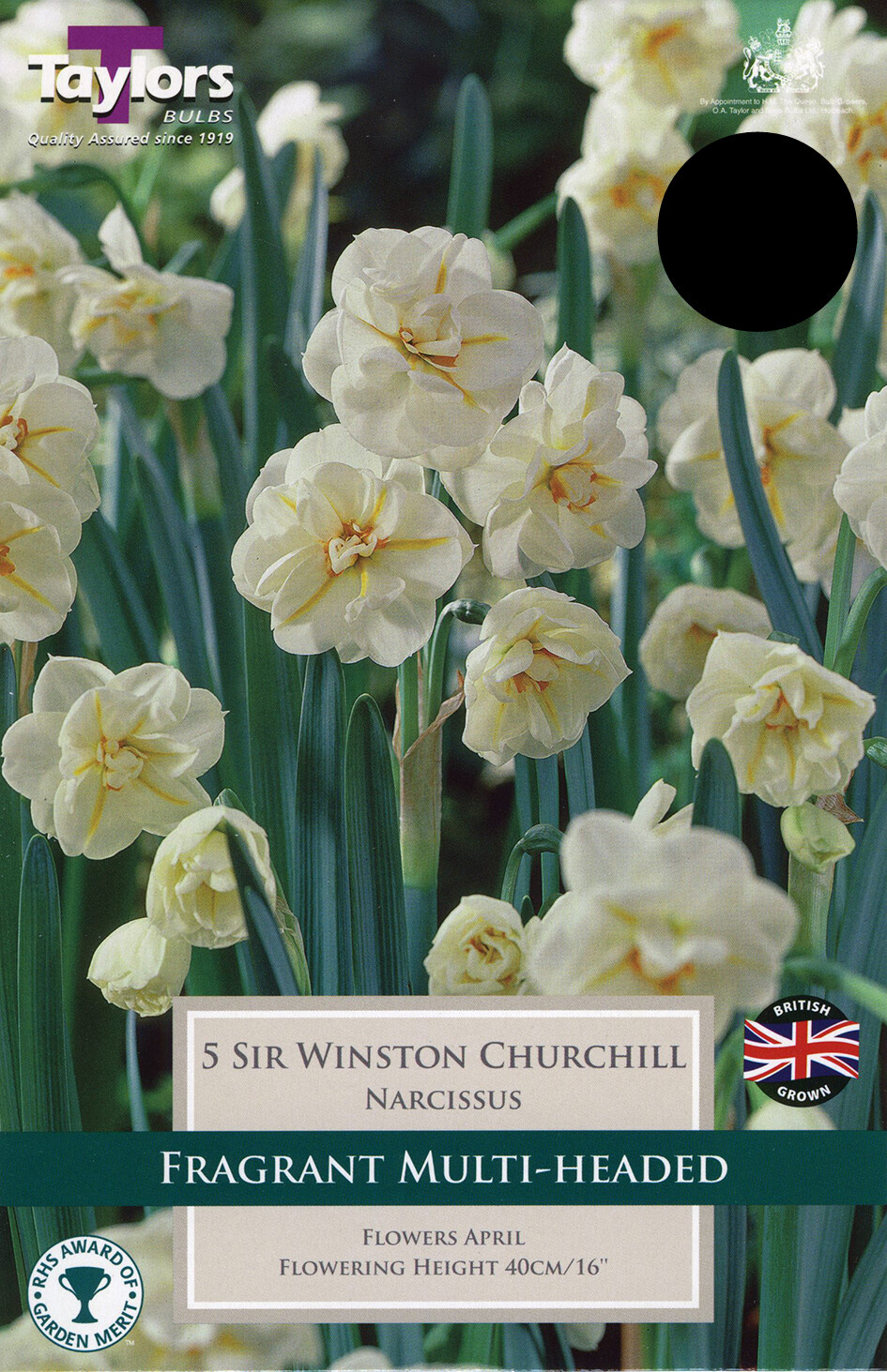Daffodil Sir Winston Churchill x5