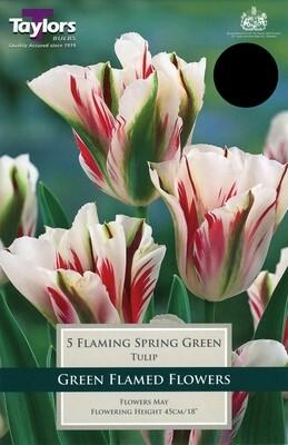 Tulip Flaming Spring Green x5