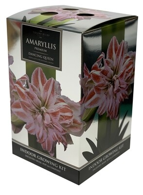 Amaryllis Premium Gift - Dancing Queen