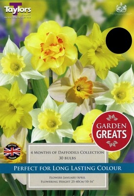 4 Months Of Daffodils Collection x30
