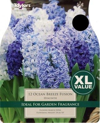 Value Hyacinth Ocean Breeze Fusion x12
