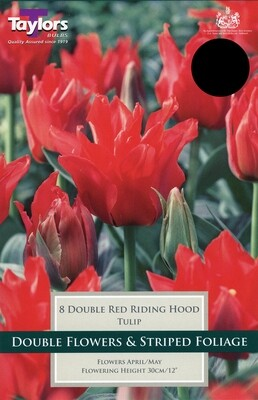 Tulip Double Red Riding Hood x8