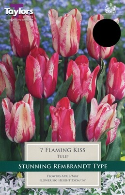 Tulip Flaming Kiss x7