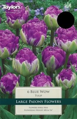 Tulip Blue Wow x6