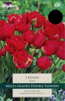 Tulip Ecstatic x7