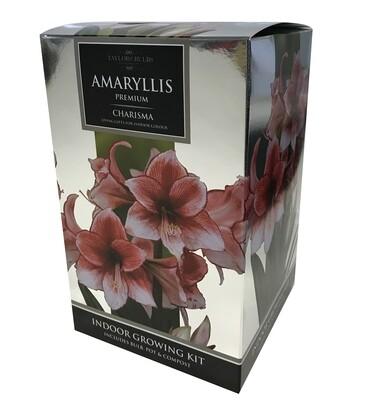 Amaryllis Premium Gift - Charisma
