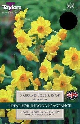 Narcissus Grand Soleil D'or x5