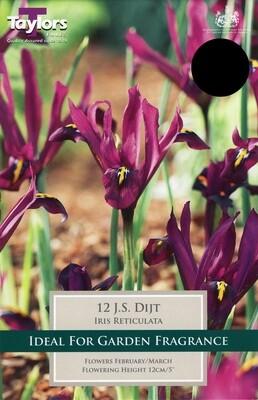 Iris Dwarf JS Dijt x12