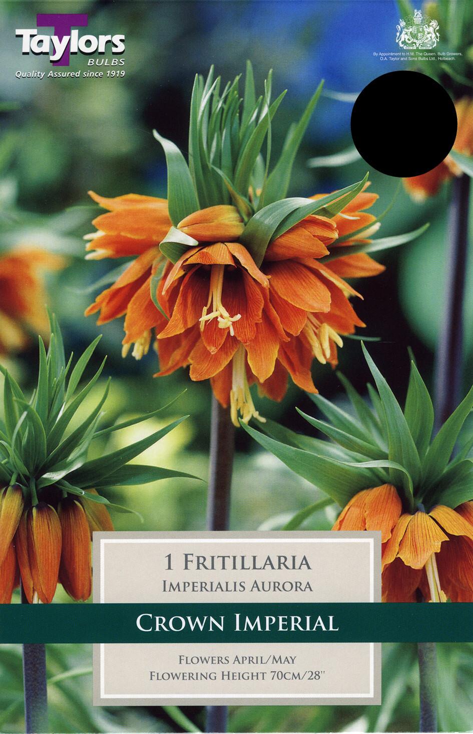 Fritillaria Imperiali Aurora x1