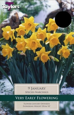 Narcissus January x9