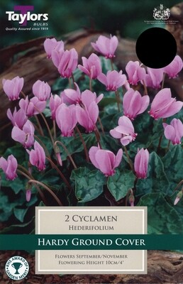 Cyclamen Hederifolium x2
