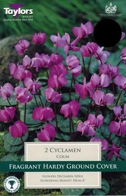 Cyclamen Coum x2