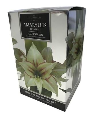 Amaryllis Premium Gift - Magic Green
