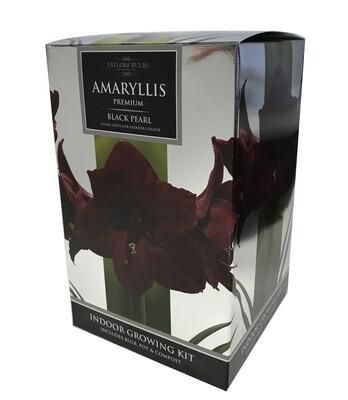Amaryllis Premium Gift - Black Pearl