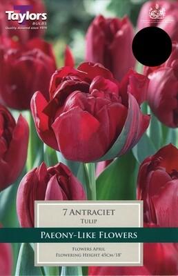 Tulip Antraciet x7