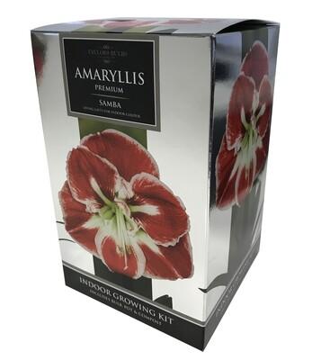 Amaryllis Premium Gift - Picotee