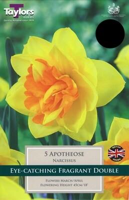 Tulip Apotheose x5