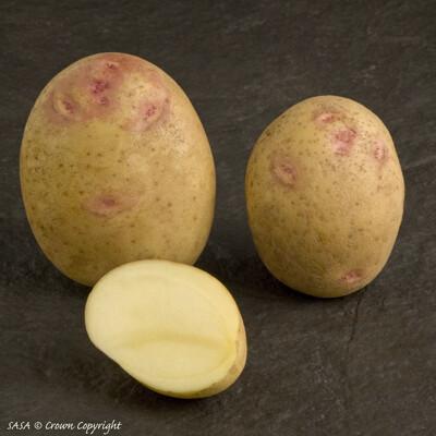 Seed Potato Picasso (per Kg)