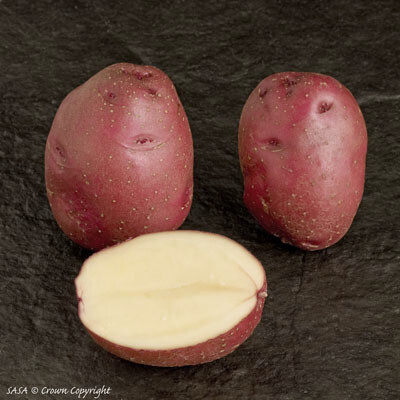 Seed Potato Red Duke of York (per Kg)