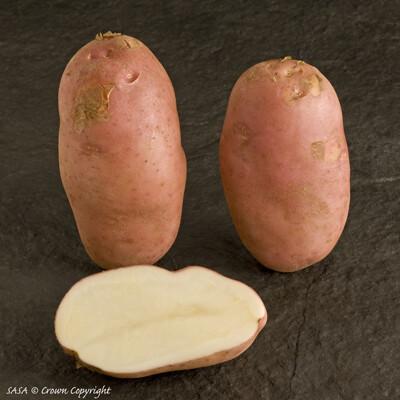 Seed Potato Sarpo Mira (per Kg)