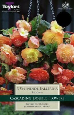 Begonia Splendide Ballerina x3
