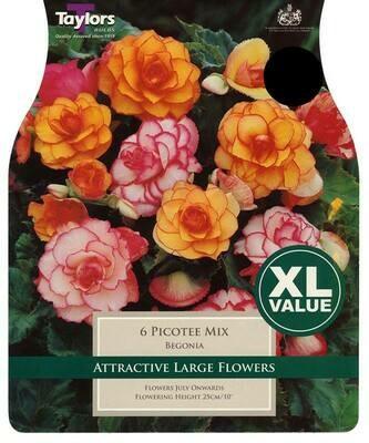 Begonia Picotee Mixed x6