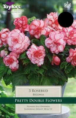 Begonia Rosebud Exotic x3