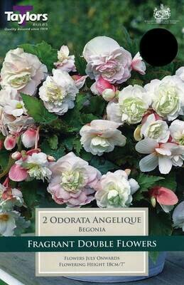 Begonia Odorata Angelique x2