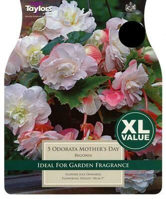 Begonia Odorata Mothers Day x5