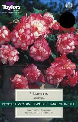 Begonia Babylon Exotic x3