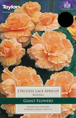 Begonia Picotee Lace Apricot x3