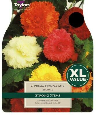 Begonia Prima Donna Mixed x6
