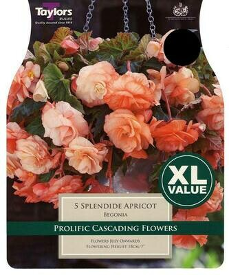 Begonia Splendide Apricot x5