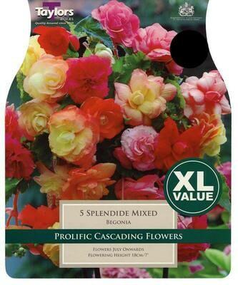 Begonia Splendide Mixed x5