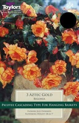 Begonia Aztec Gold Exotic x3