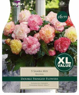 Begonia Samba Mixed x5