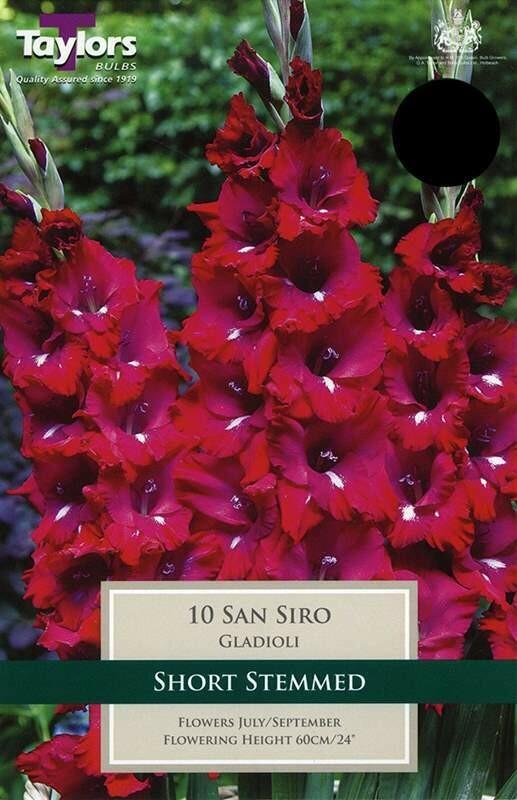 Gladioli San Siro x10