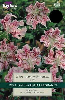 Lily Speciosum Rubrum x2
