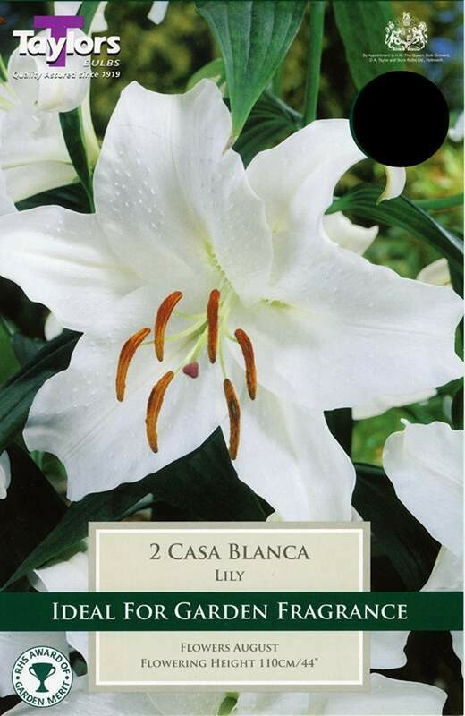 Lily Casa Blanca x2