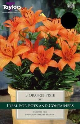 Lily Orange Pixie x3