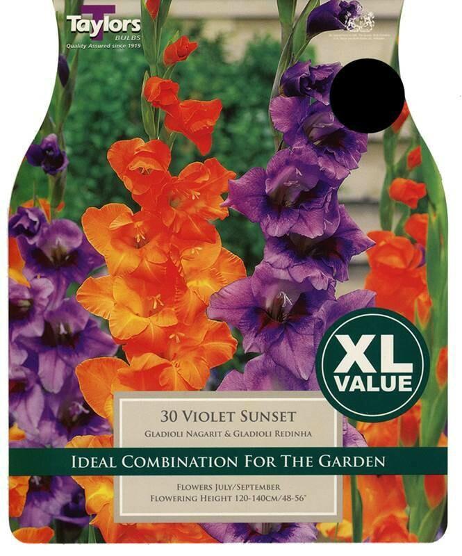 Gladioli Violet Sunset x30