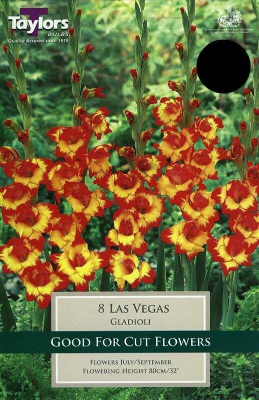 Gladioli Nanus Las Vegas x8