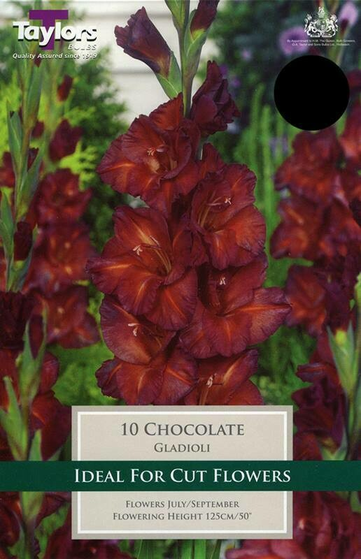 Gladioli Chocolate x10