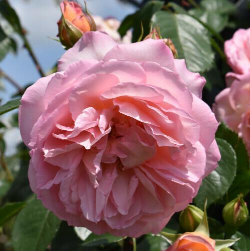 Rose Fragrant Celebration