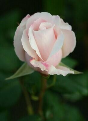 Rose Remember
