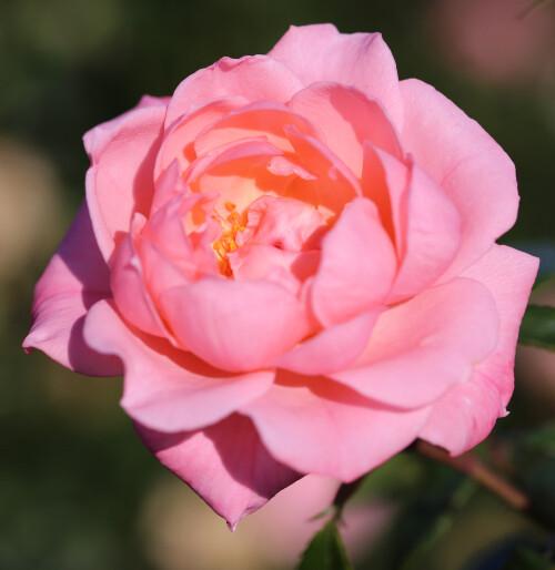 Rose Star Performer