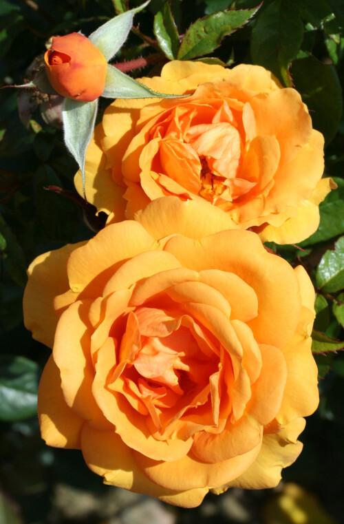 Rose Golden Beauty
